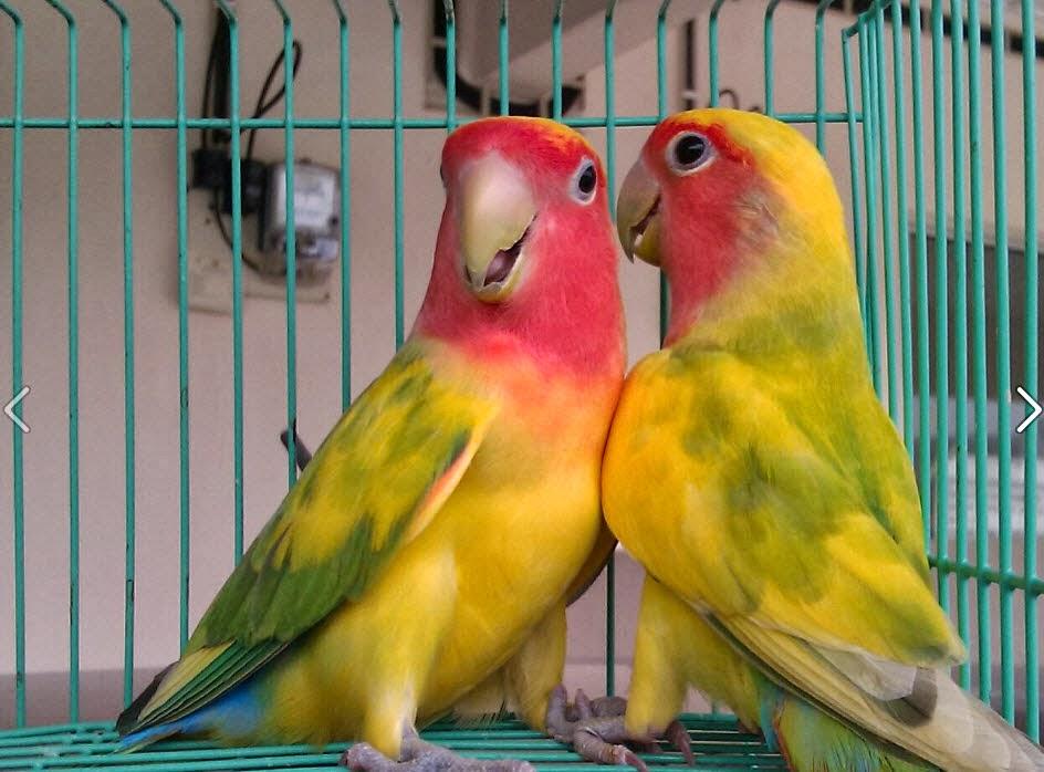 Lovebird Peachface Pied