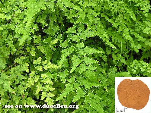 Lygodium japonicum (Thunb.) Sw. (Fam. Lygodiaceae)