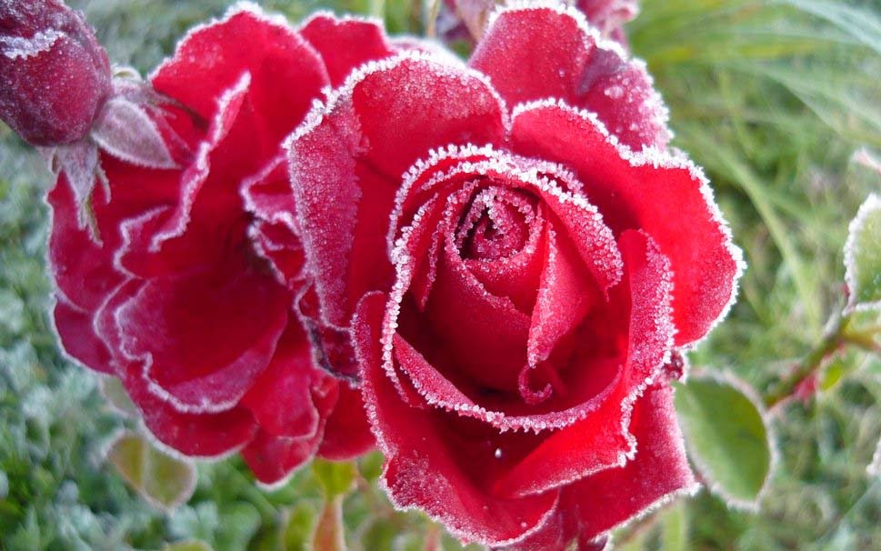 rose-frost-the-hd-picture