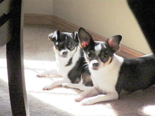 My Chihuahua, Zoey with her brother, Tidbit