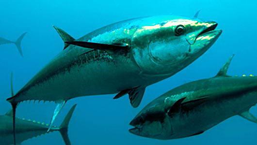 Ikan Tuna didalam air
