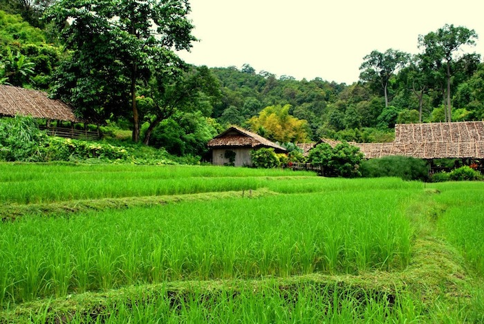 southeast asia rice paddy field