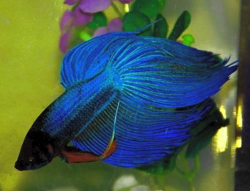 Beautiful blue betta fish fish video for Prettiest betta fish