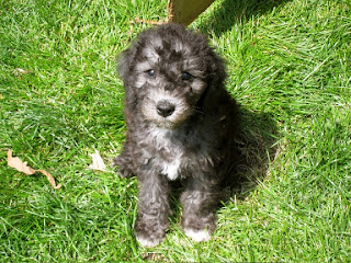 Bedlington Terrier Puppy Picture
