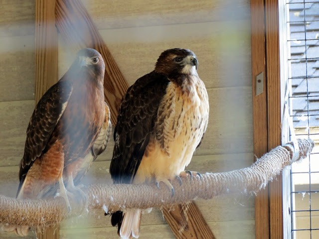 Hawks at Armand Bayou Nature Center