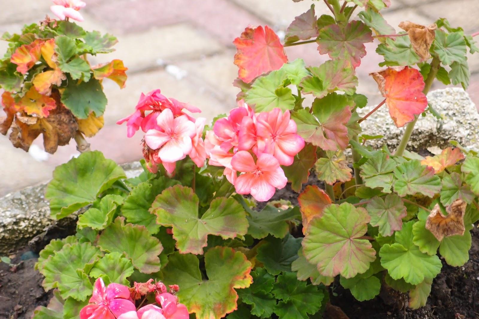 geranium flowerring in November