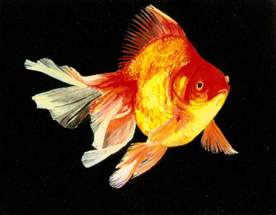 information about golden fish