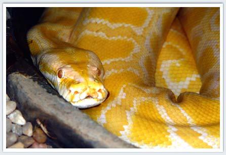sonhar com cobra amarela agitada