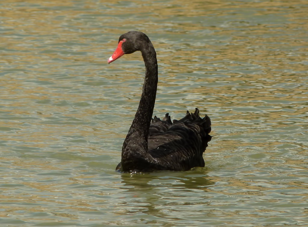 Black swan animal