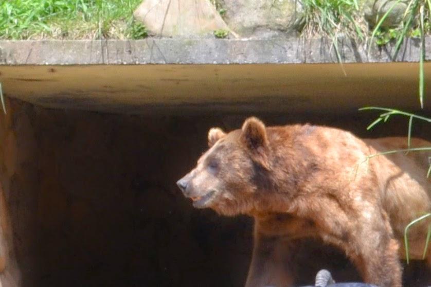 Urso pardo do Zoológico de São Paulo
