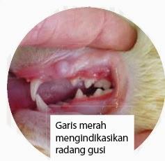 penyakit gusi periodontal kucing