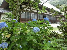 浄妙寺のアジサイ