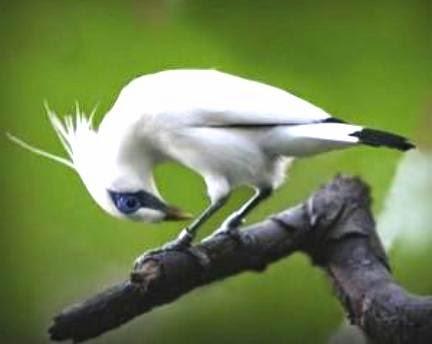 Gambar Cara Merawat Burung Jalak Suren