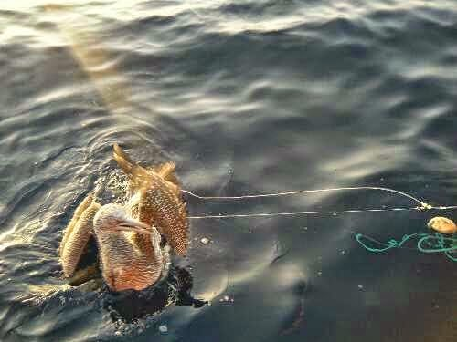 alcatraz inmaduro enganchado en arte de pesca