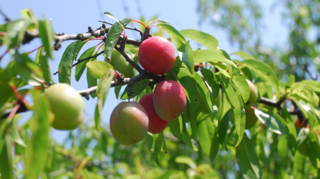 Different Types Of Apple Trees About Fruit Trees