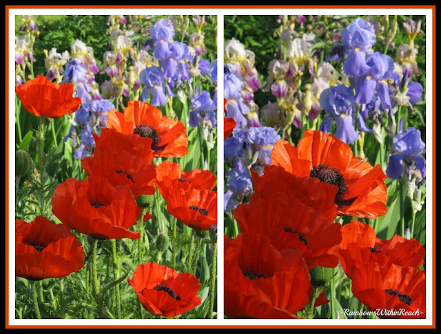 photo of: Poppies and Iris, Perspective in Photography