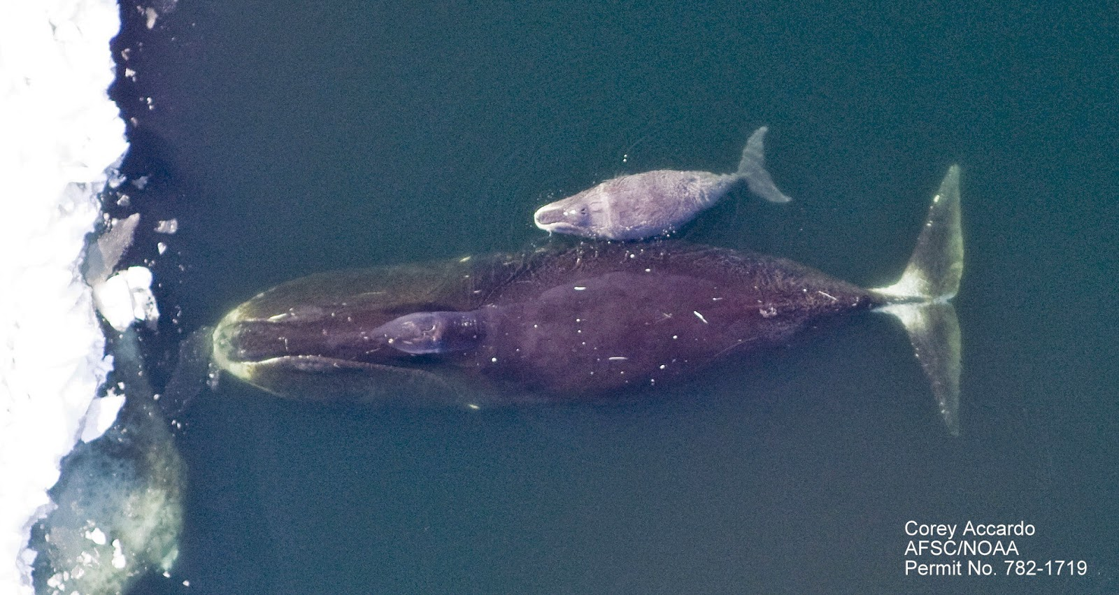 Baby bowhead whale - photo#4