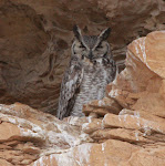 Great Horned Owl (5/15)