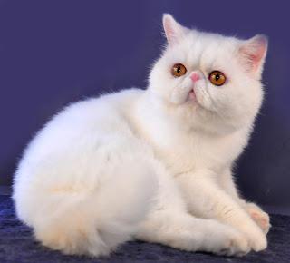 Aneka Pola Warna Kucing Ras Persia dan Lainya