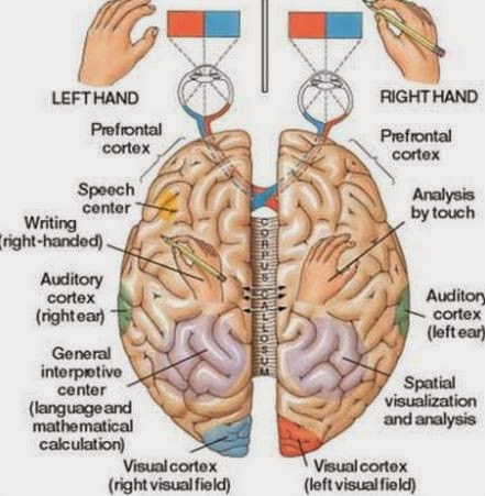 Brain diagram left right side auto electrical wiring diagram importance of breathing svara yoga rh manblunder com blank brain diagram brain anatomy diagram ccuart Gallery