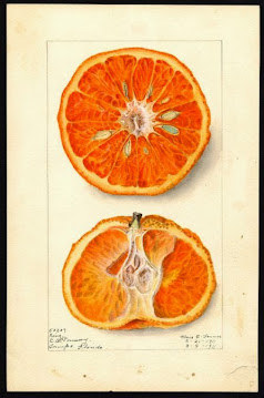 Citrus Nobilis
