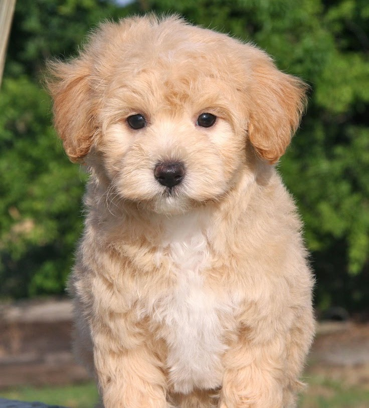 Apricot Maltipoo Puppy | ... of Maltipoos we have already matched up to some amazing puppy parents