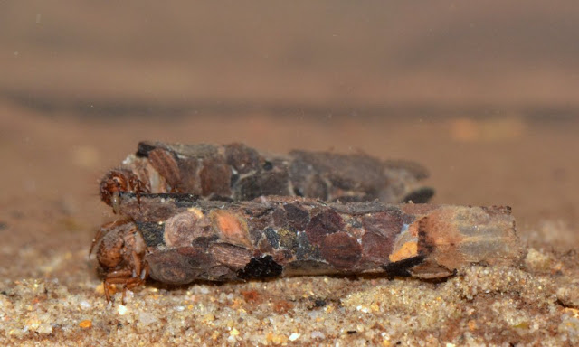 caddisfly larvae with bark-fragment tubes