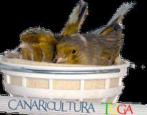 Fórum canaricultura tuga