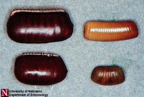 cockroach lick envelope legend Urban