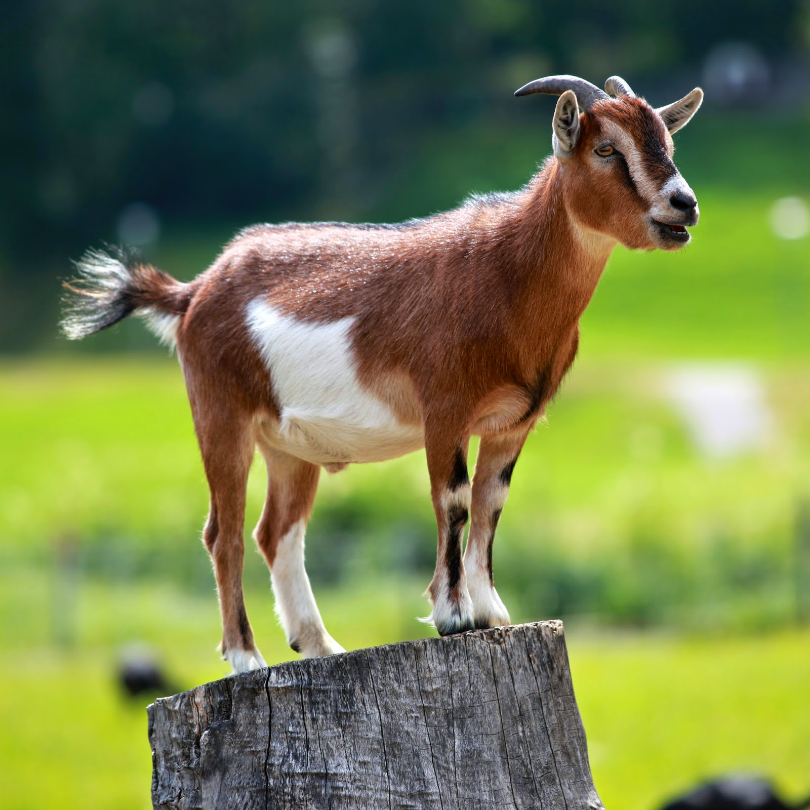 A Pygmy Goat - From Wikipedia, the free encyclopedia