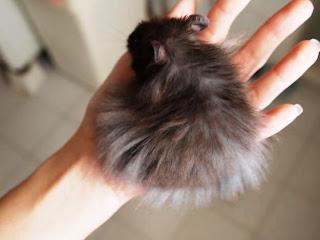 Hamster Syrian