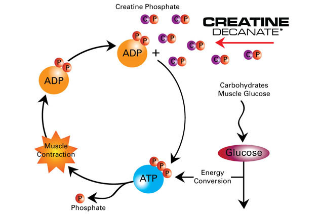 the actions and effects of creatine on the human body throughout time The effects of a high dosage of creatine and caffeine supplementation on the lean body mass composition of rats submitted to vertical jumping training  [26,27], and that studies on human body composition are carried out using  effects of creatine supplementation on body composition and renal function in rats med sci sports.