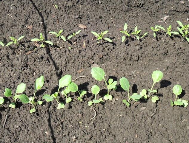 Рассада капусты и безрассадные помидоры, посеянные в начале мая