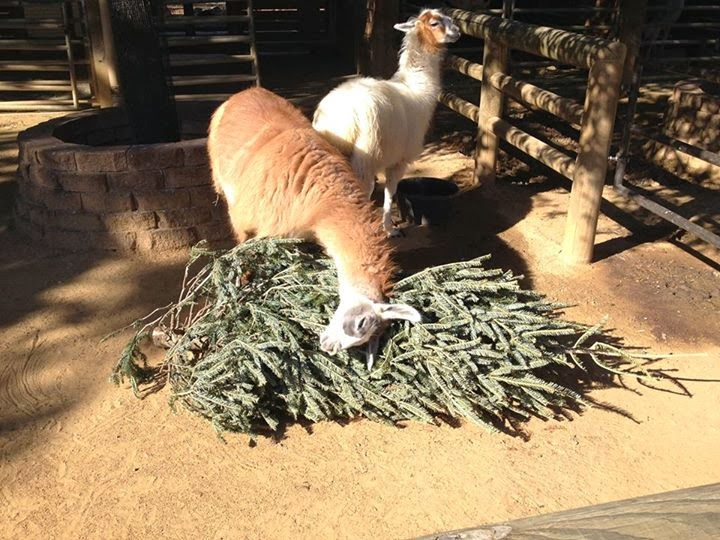 Funny animals of the week - 17 January 2014 (40 pics), llama gets Christmas tree