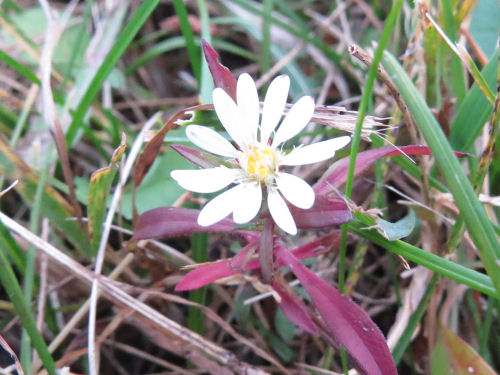single aster blossom