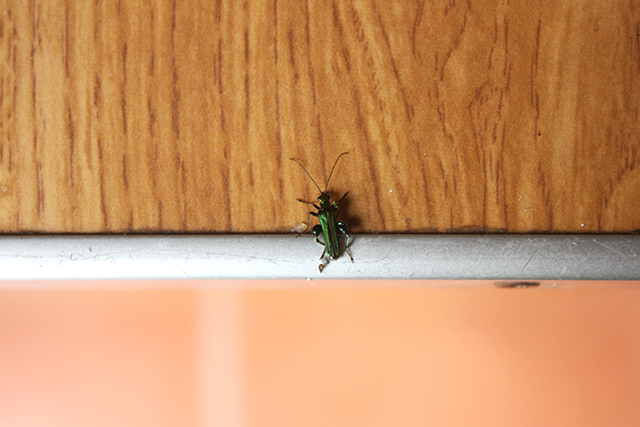 green bug on kitchen counter
