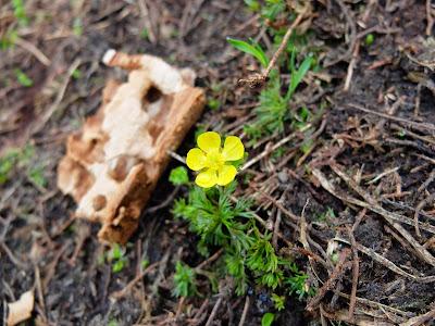 Ranunculus easchscholtzii (Snowpatch Buttercup)?