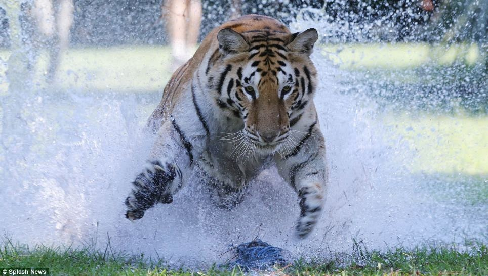 Breathtaking rare footage of tigers running at full speed (Video)