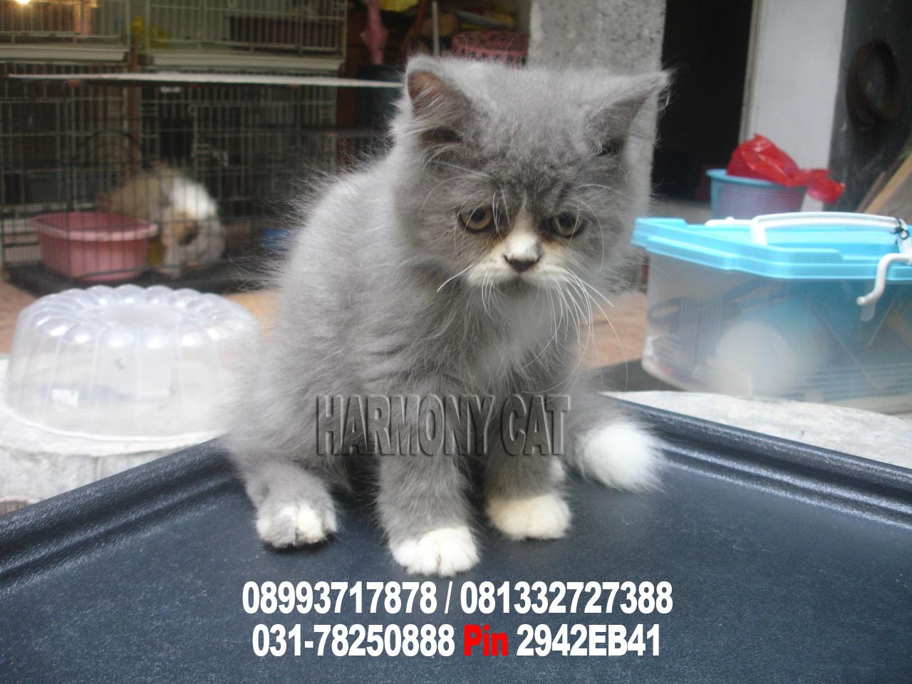 Pin Jual Kucing Murah 150ribuan Bogorjakarta Selatan On