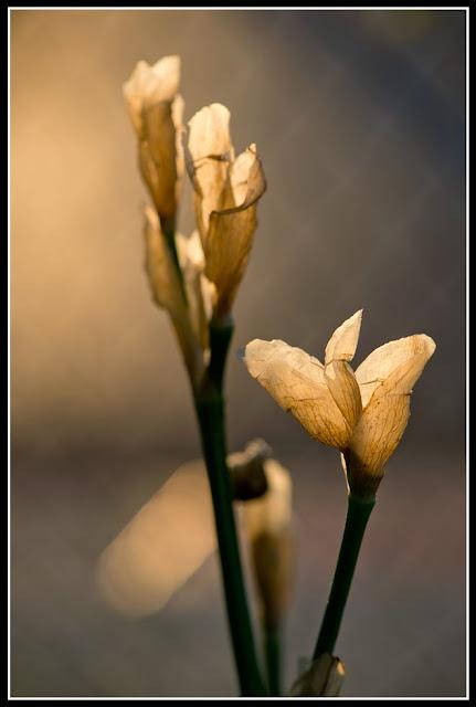 Iris; Irises; Flower; Fading
