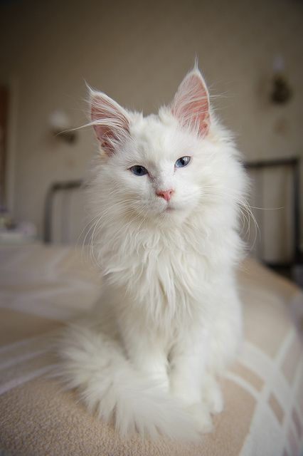 4 Most Furry Cat Breeds