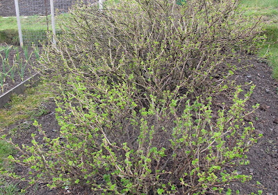 Gooseberry Bushes
