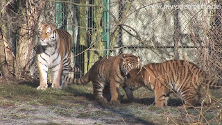Siberian Tiger cubs playing