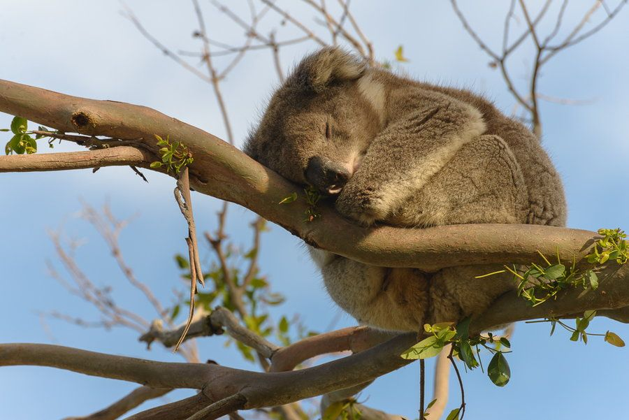 12. Australie #Great Ocean Road #Sieste dans un arbre by Jean-François Garbez