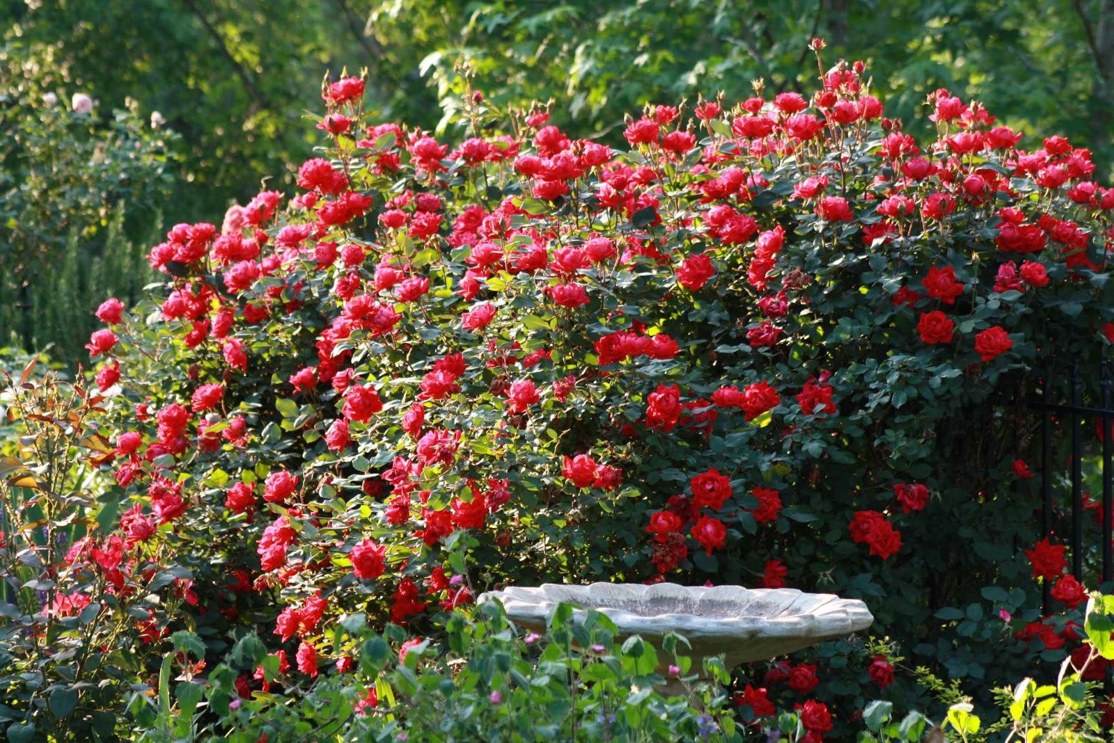Beautiful Rose Garden Wallpaper rose flowers garden rose flower garden red rose