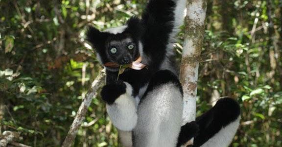 Indri Lemur Diet