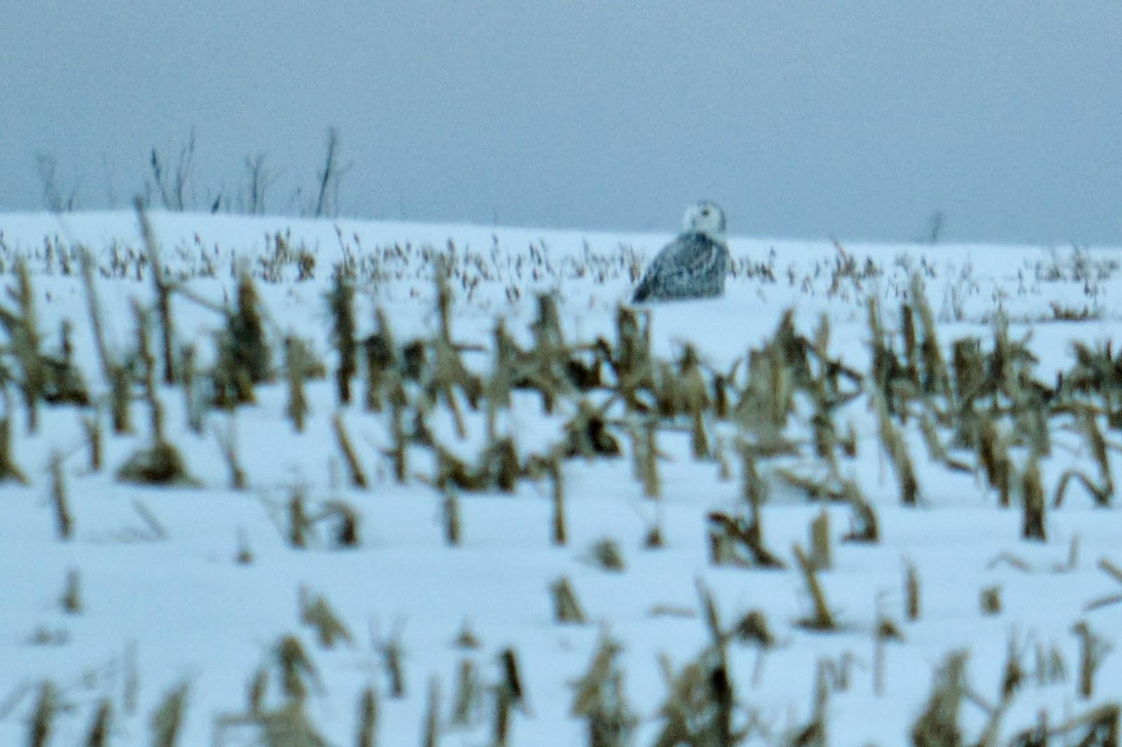 snowy owl in Pa
