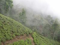Tea's Moutain