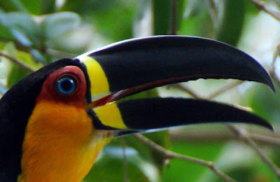 Somediffrent: Toucans Shine Bright With Their Brightly Colored Bills