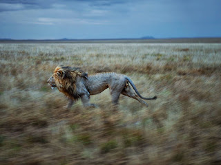 NG Photo of the Fay : Singa, Serengeti